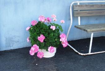 Naapuritalon nätti kukka.